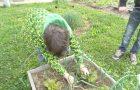 Pobiranje pridelkov na šolskem vrtu